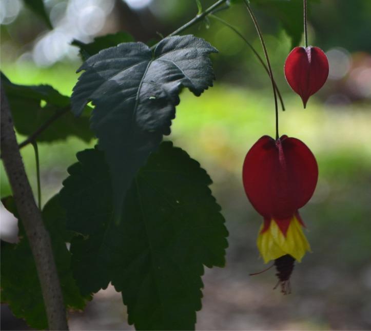 Abutilon Megapotamicum Brazilian Bellflower Daves Plants